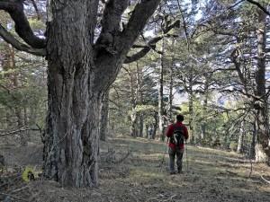 Por el bosque de Javalambre
