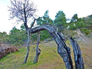 Olivos en la Serrella