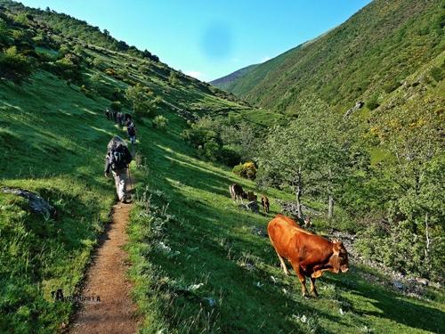Vacas en el valle de Urbión