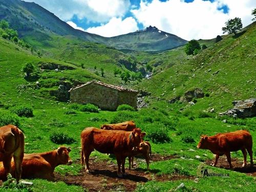 Vacas subiendo al Urbión