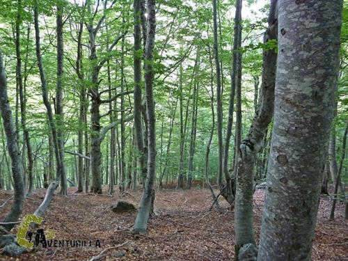 Bosque de hayas en Ordiso