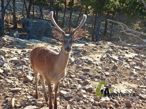 Ciervos en Orihuela del Tremedal