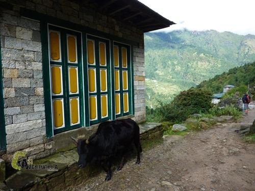 Animales de carga en Nepal