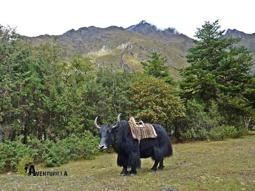yak en Nepal