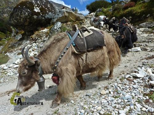 Yaks en Nepal