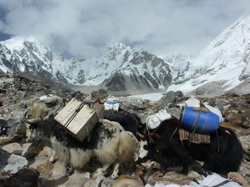 Yaks cargados de viveres