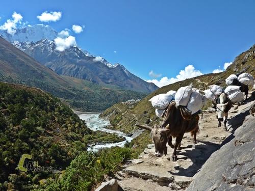 Porteadores animales en Nepal