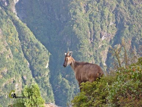 Cabra en Nepal