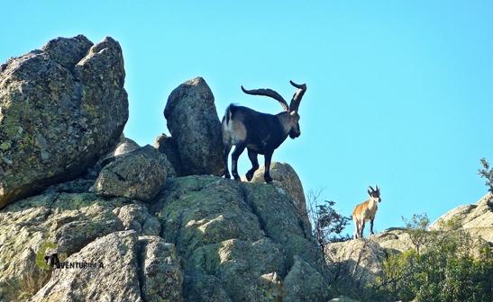 cabras monteses en las Pedrizas del Manzanares