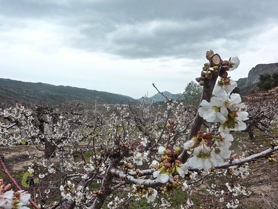 cerezos de la Vall de Gallinera