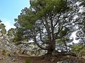 pino en el barranco de la Hoz