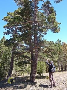 curioso pino albar