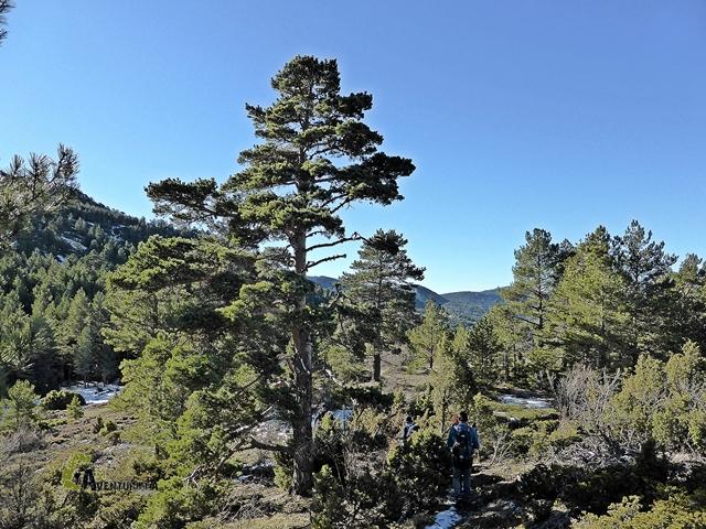 gran pino en Javalambre