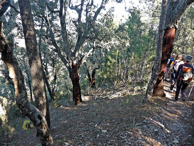alcornoques en la sierra de Espadan