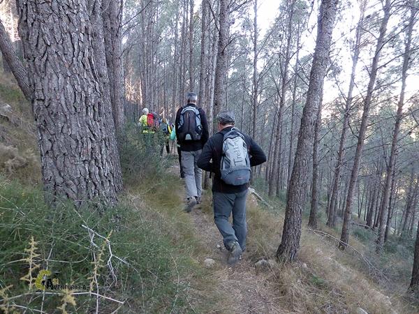 sendero bajo bosque de pinos