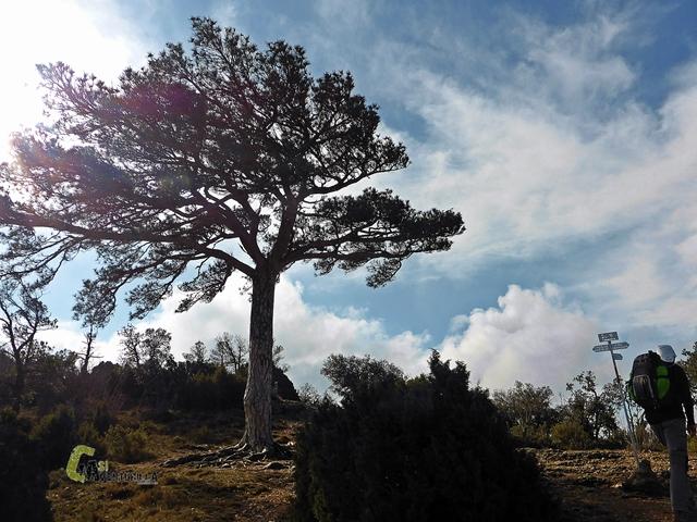 Pi de la Carabasseta en el Montsant