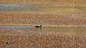 aves en laguna de Bezas
