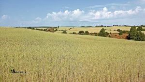 Campos de cereales en Teruel