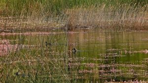 Aves en la laguna de Talayuelas