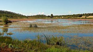 Polygonum amphibium en la laguna de Talayuelas