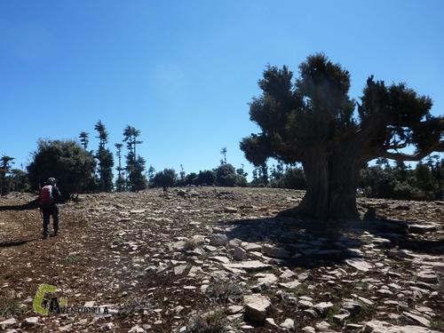 sabinas, cedros y encinas en Medio Atlas