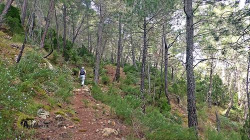 Por el bosque de pinos